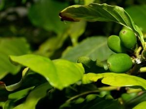 Coffee-Organic